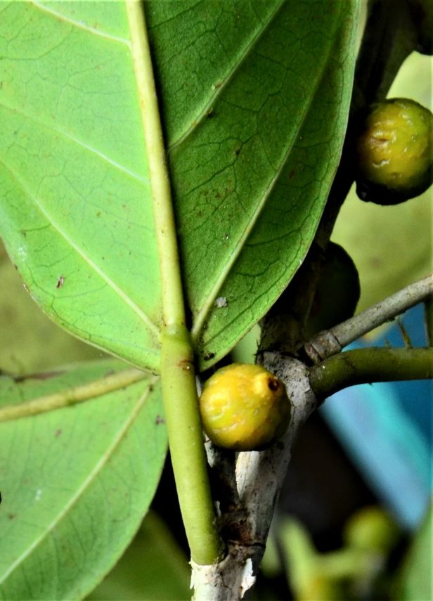 09 Ficus pisocarpa Kg. Sukau, Sg. Menanggol●20190475★Shuai LIAO-IMG_9758