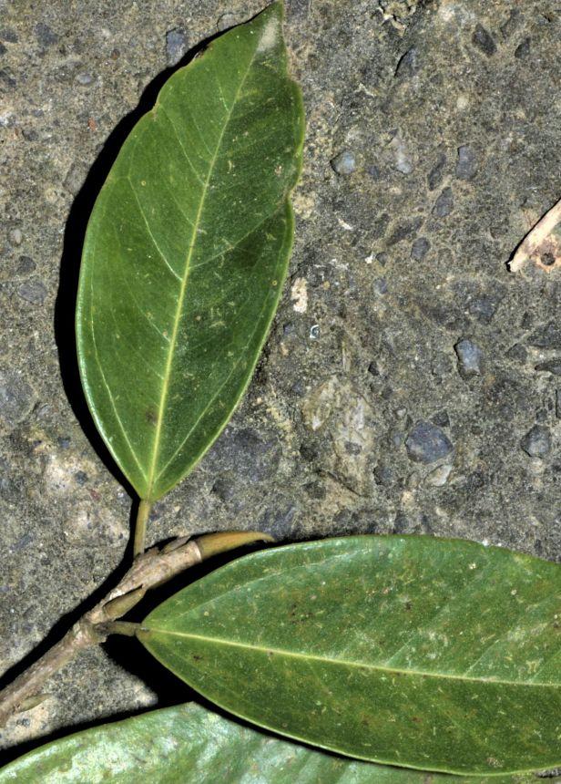 10 Ficus pallescens RDC Jalan Fabia●20190456★ Xin-Xin ZHOU_2020.01.26-2613 - Copy
