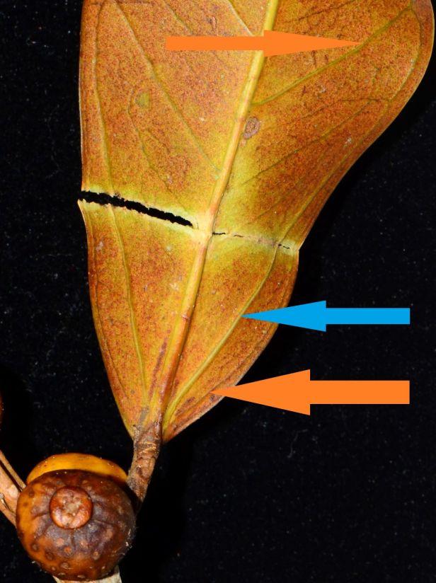 10 Ficus pisocarpa Beluran, Tawai FR, Sg. Meliau●20190431★ Shuai LIAO-LSL_1885.JPG