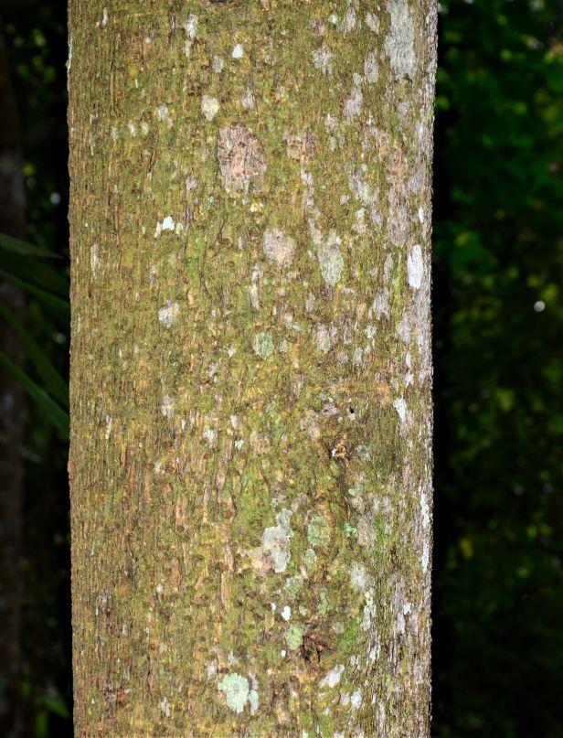 11 Ficus dubia Ulu Kimanis 20190386★ Shuai LIAO-LSL_9952