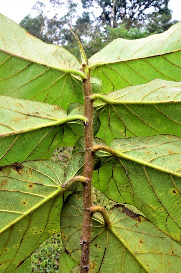 11 Ficus megaleia Papar - Keningau●20190379★ Shuai LIAO-LSL_9741.JPG