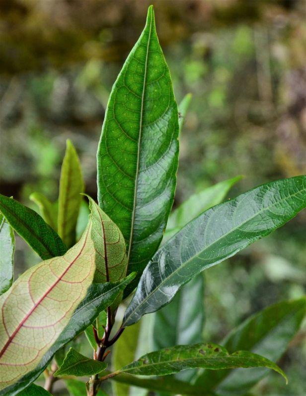 11 Ficus stolonifera Mesilau ●20190369★Shuai LIAO-LSL_9307