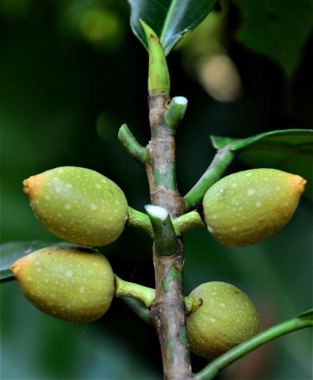 12 Ficus annulata  Sepilok FR, Arboretum Office●20190455★ Shuai LIAO-LSL_2949.JPG
