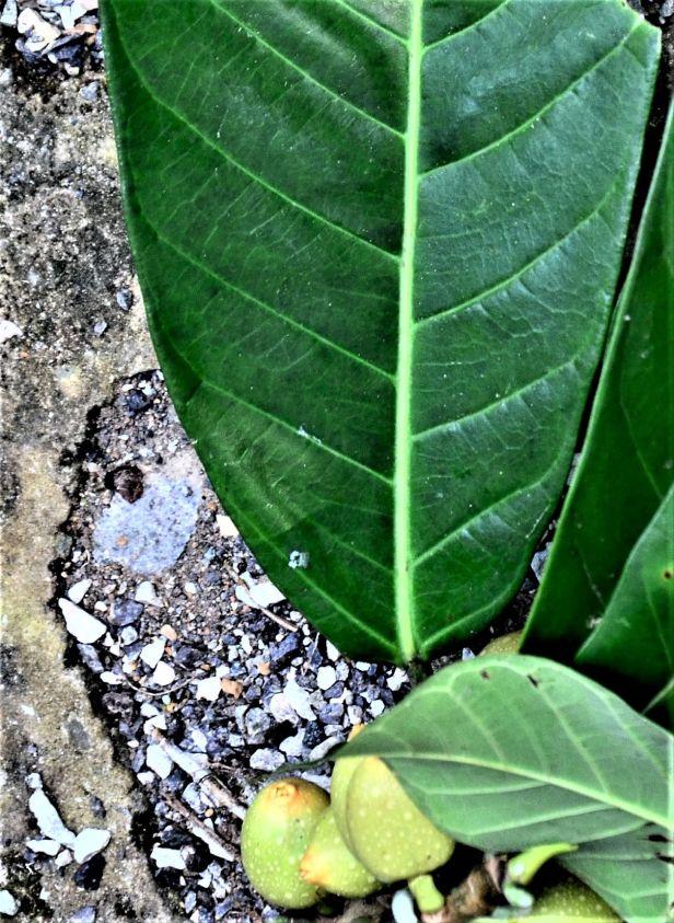 14 Ficus annulata -Sepilok FR, Arboretum Office●20190455★ Shuai LIAO-LSL_2951.JPG