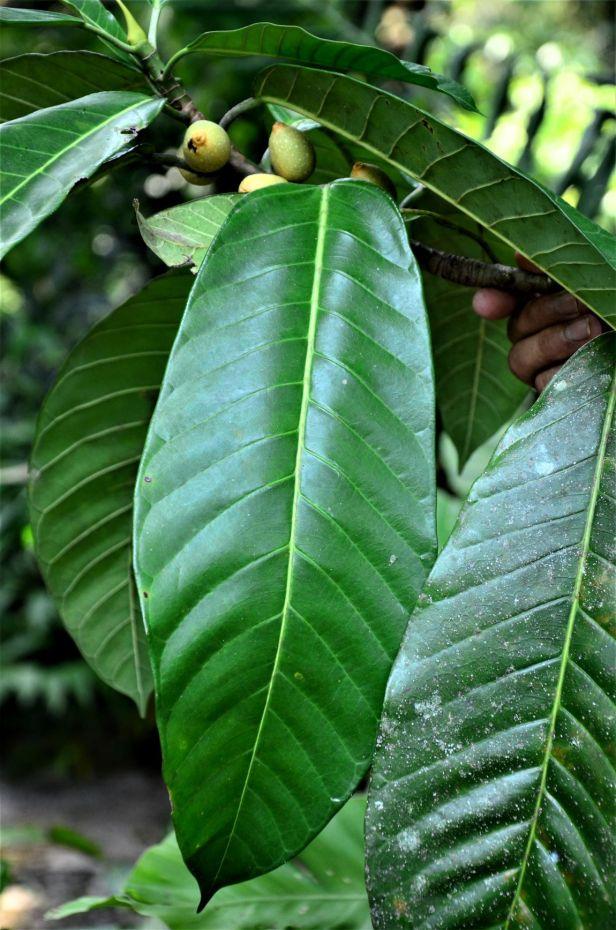 15 Ficus annulata Sepilok FR, Arboretum Office●20190455★Shuai LIAO-LSL_2952.JPG