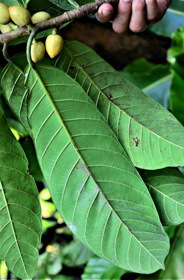 16 Ficus annulata  Rainforest Discovery Centre, Arboretum Office●20190455★ Shuai LIAO-LSL_2955.JPG