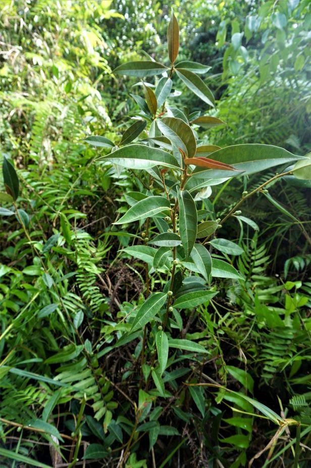 D08 Ficus oleifolia  Pontianak SC02457.JPG