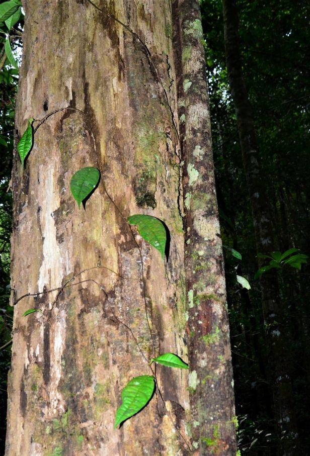 Ficus carrii 09  Bukit Burung Trail●20190370★ Shuai LIAO-LSL_9381.JPG