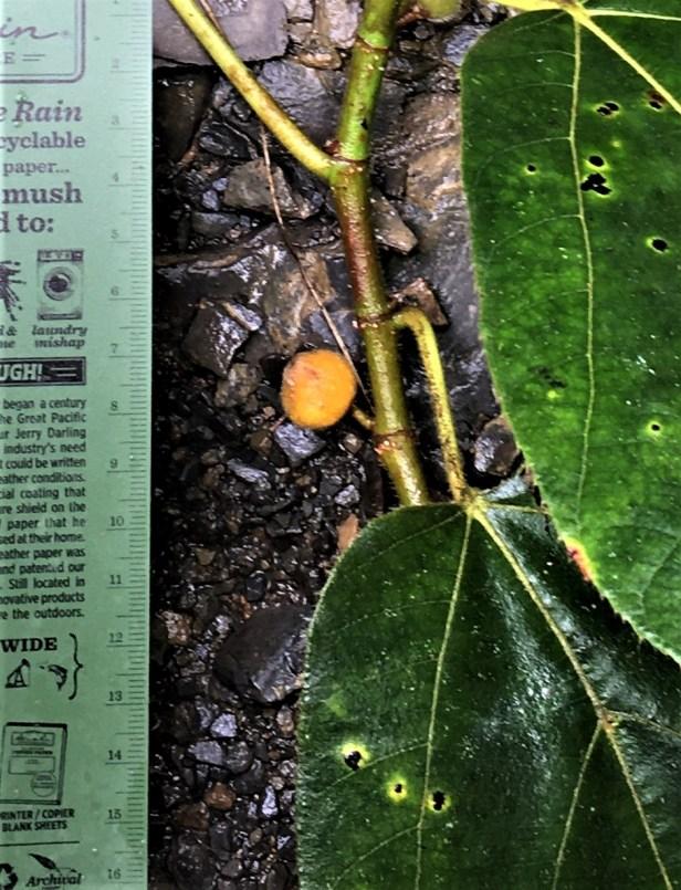 01 EG 885 Fulva female Ficus cf aurata small fig EG885 - Copy
