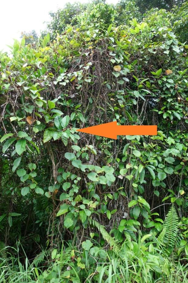 01 Ficus apiocarpa  Elliot Gardner  Lundu Pandan beach  EG917 a.JPG