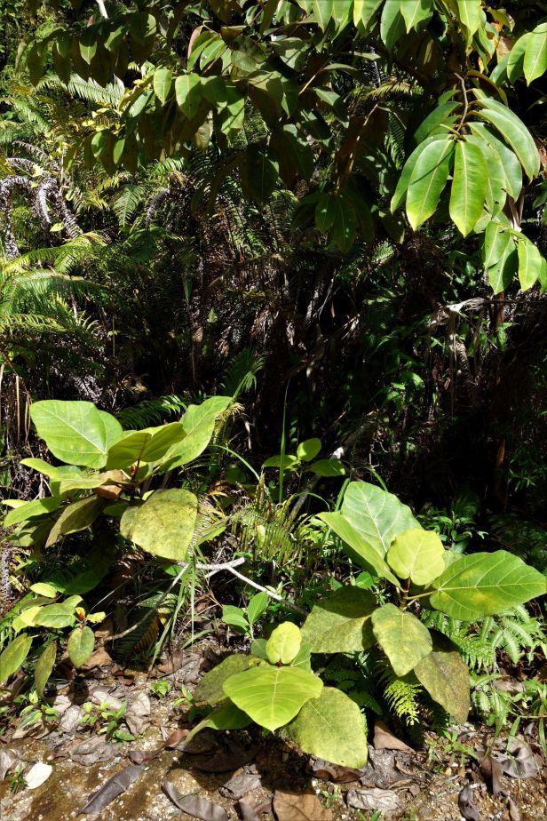 01 Ficus bruneiensis Sg Sut Elliot Gardner  EG822 a.JPG