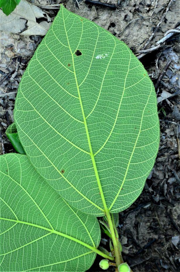 01 Ficus fulva, Kg. Togis●20190364★ Shuai LIAO-LSL_9102.JPG