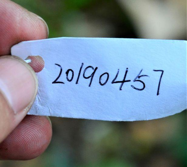 01 Ficus scaberrima, RDC Sepilok Jalan Fabia●20190457★ Shuai LIAO-LSL_2992.JPG