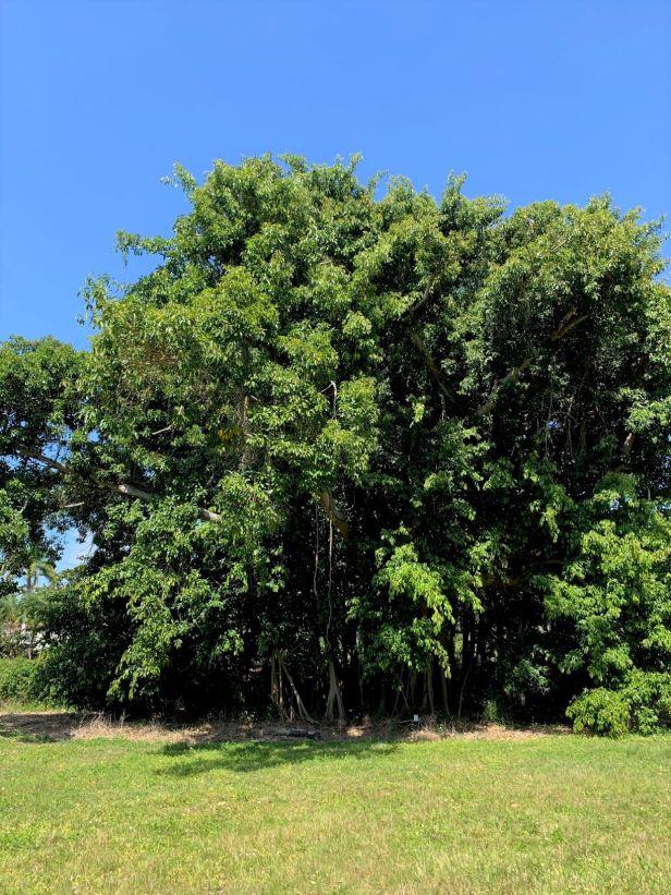 01 Ficus subcordata— Florida, USDA-ARS Subtropical HRS◆ Java●PI 67502●20200011★Alex Sanchez-1.jpg