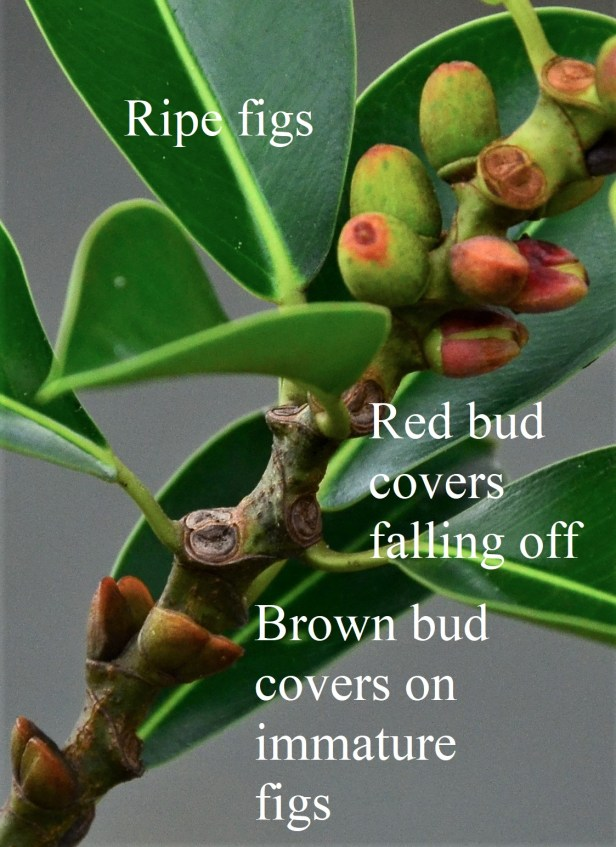 02 Bud covers falling off Ficus elastica 20190398★Photographed By Shuai LIAO-LSL_0519 - Copy