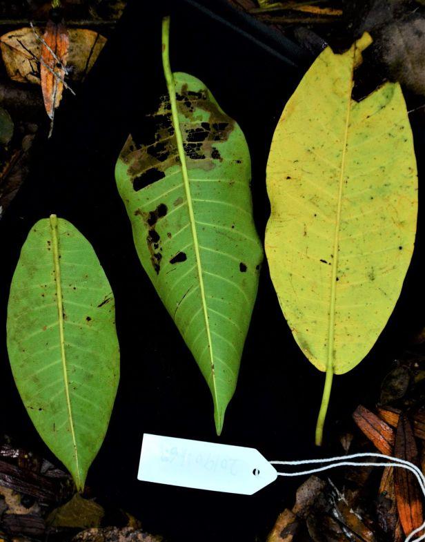 02 Ficus lawesii Sukau Rainforest Lodge●20190468★ Shuai LIAO-LSL_3368.JPG
