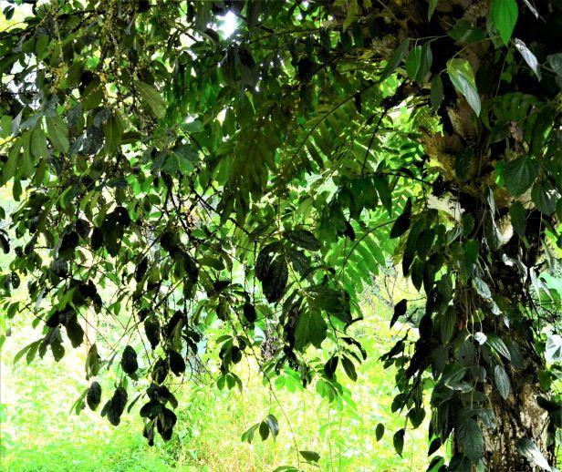 02 Ficus scaberrima, RDC Sepilok Jalan Fabia●20190457★ Shuai LIAO-LSL_2992.JPG