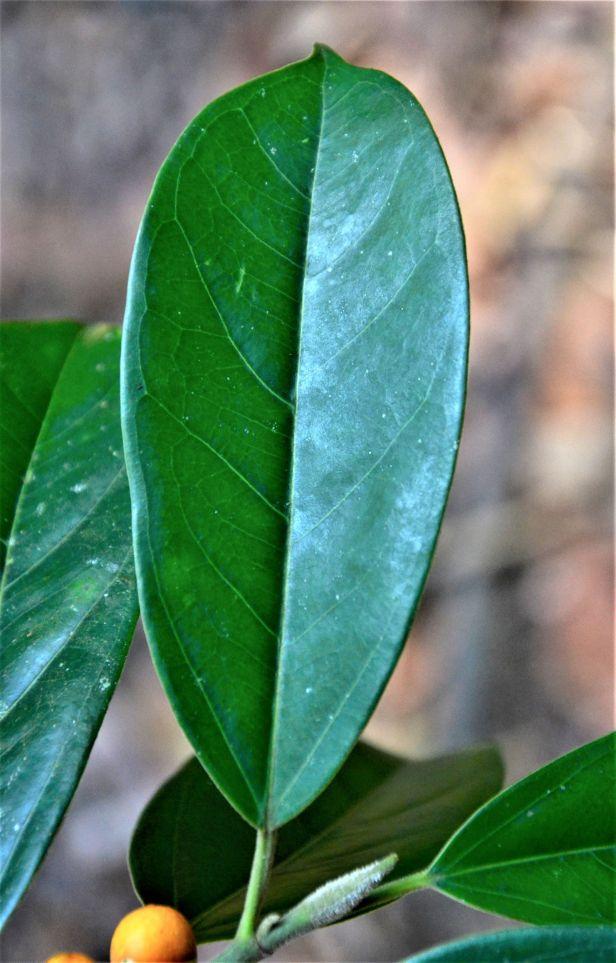 02 Ficus subgelderi  Tongod, Pinangah FR●20190428★ Shuai LIAO-LSL_1749.JPG
