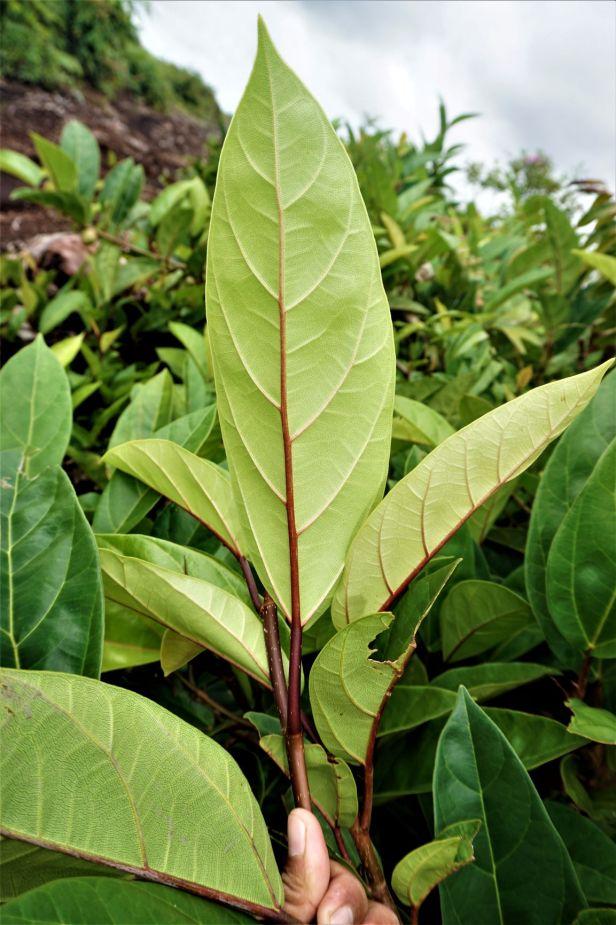 03 Ficus apiocarpa Pontianak Ripin DSC03115 - Copy.JPG