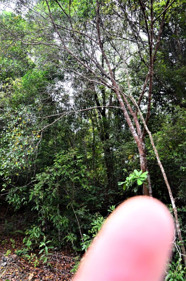 03 Ficus delosyce, Beluran, Tawai FR, Death March Memorial●20190433★ Shuai LIAO-LSL_2028