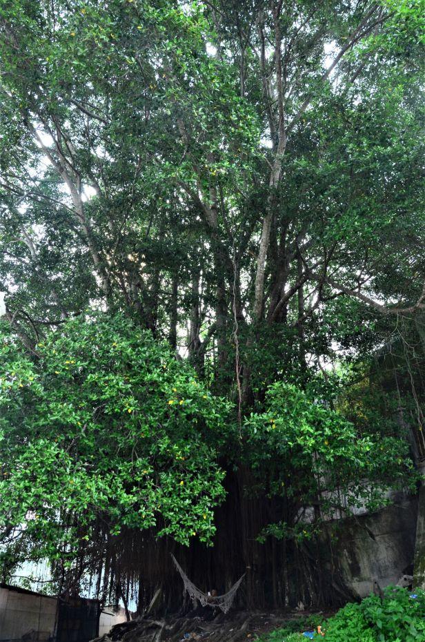 03 Ficus microcarpa, Sandakan, Pusat Bandar,Jalan Leila●20190447★Shuai LIAO-LSL_2431.JPG