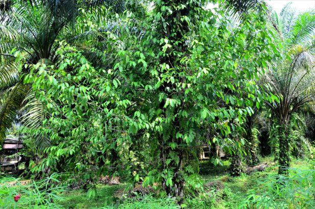 03 Ficus subulata Tongod, Kg. Semundoh●20190422★ Shuai LIAO-LSL_1624.JPG