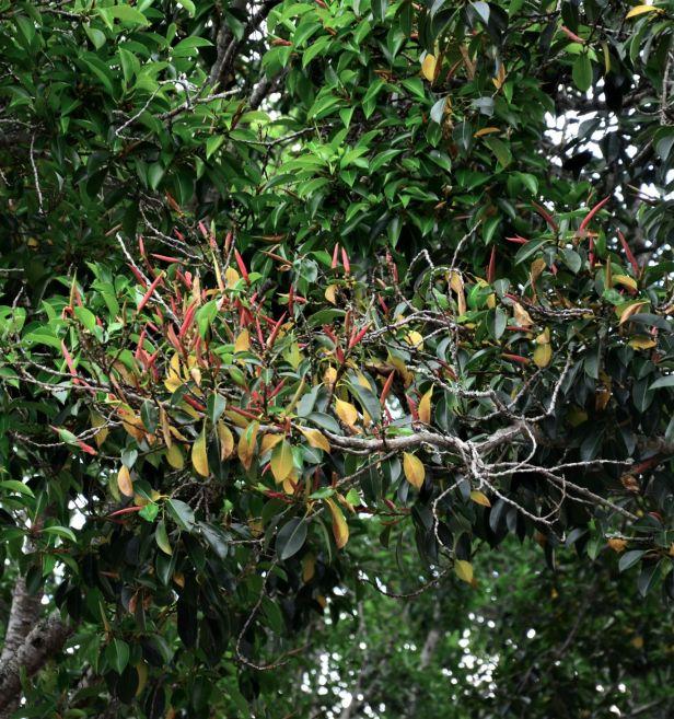 04 Ficus elastica Tambunan, Jalan Tamadun●20190398★ Shuai LIAO-LSL_0515.JPG