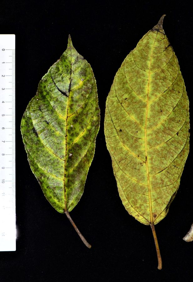 04 Ficus gul Kg. Nalumad●20190353★ Shuai LIAO-LSL_0640.JPG