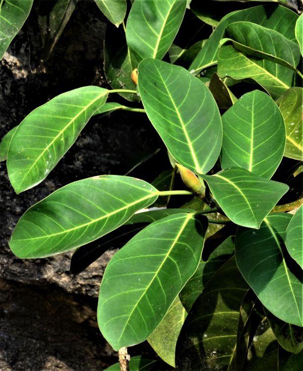 04 Ficus stupenda Kg. Sukau, ●20190478★ Shuai LIAO-LSL_3753 - Copy.JPG