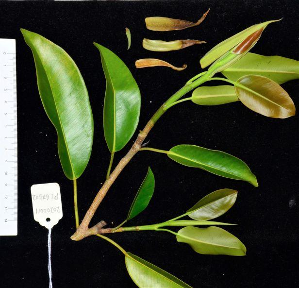 04 Ficus subcordata— Florida, USDA-ARS Subtropical HRS◆ Java●PI 67502●20200011★Alex Sanchez-1.jpg