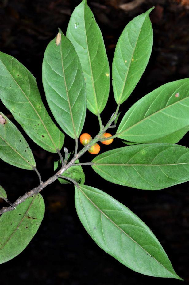 04 Ficus subgelderi  Tongod, Pinangah FR●20190428★ Shuai LIAO-LSL_1749.JPG