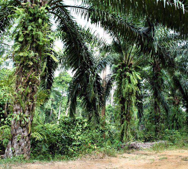 05 Ficus binnendijkii Sepilok oil palm IMG_1324.JPG
