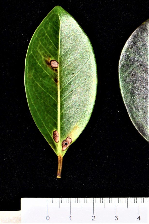 05 Ficus delosyce, Beluran, Tawai FR, Death March Memorial●20190433★ Shuai LIAO-LSL_2028