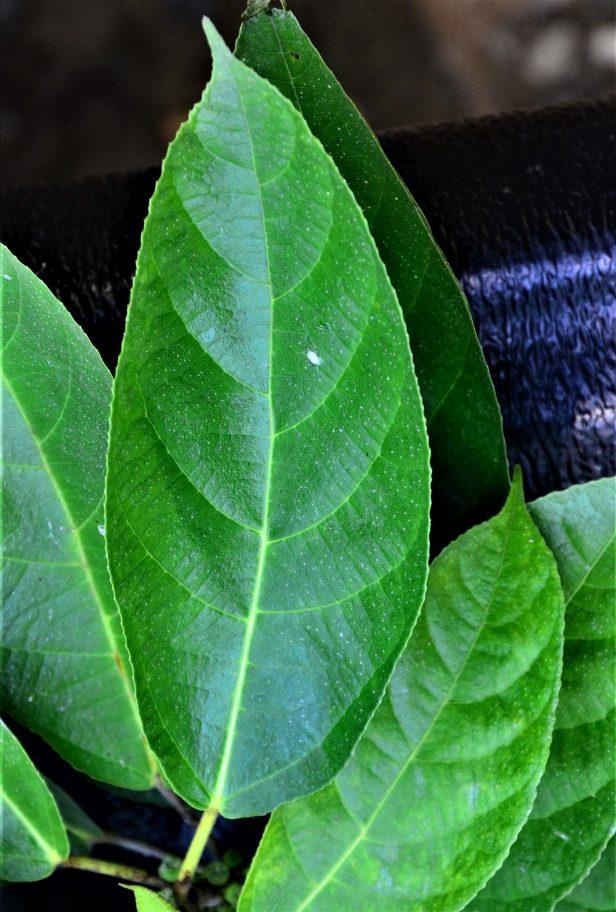05 Ficus gul Kg. Nalumad●20190353★ Shuai LIAO-LSL_0640.JPG