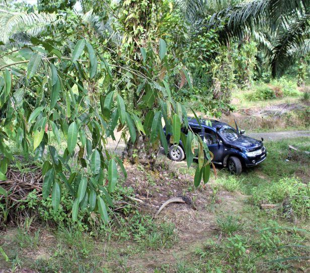 06 Ficus binnendijki  Sepilok oil palm IMG_1314.JPG