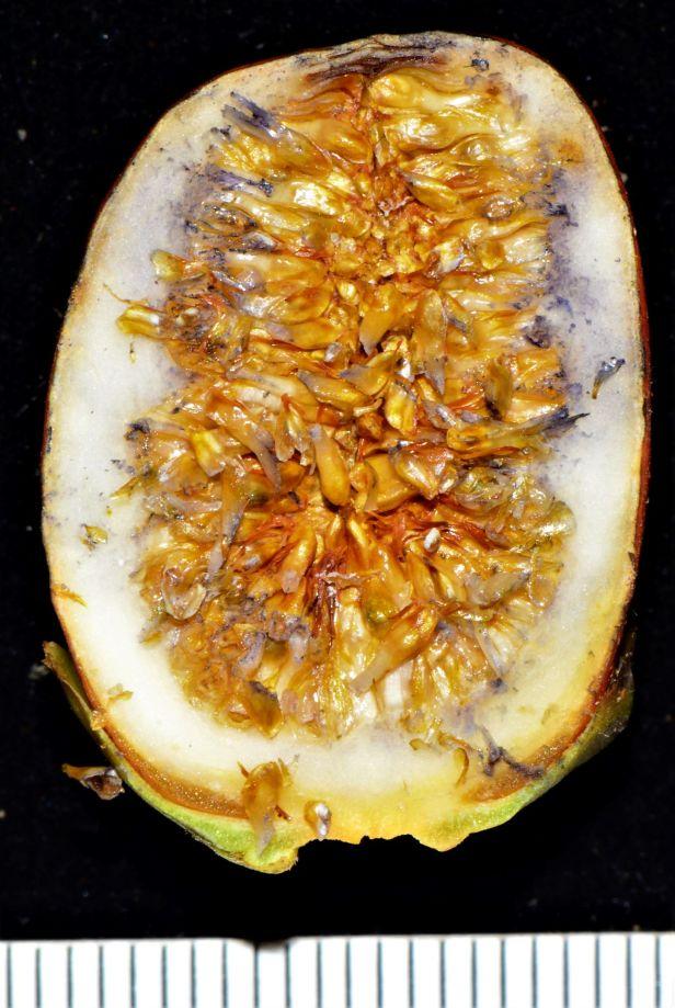 06 Ficus forstenii  Kg. Nalumad, Sg. Mokodou●20190359★ Shuai LIAO-LSL_8974.JPG
