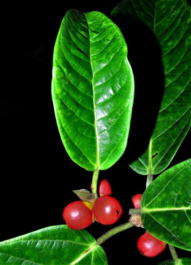 06 Ficus forstenii Ranau Kg. Luanti Baru, ●20190406★ Shuai LIAO-LSL_0966.JPG