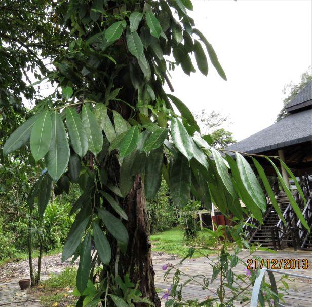 06 Ficus magnoliifolia Royal Mulu Resort IMG_6338 .JPG