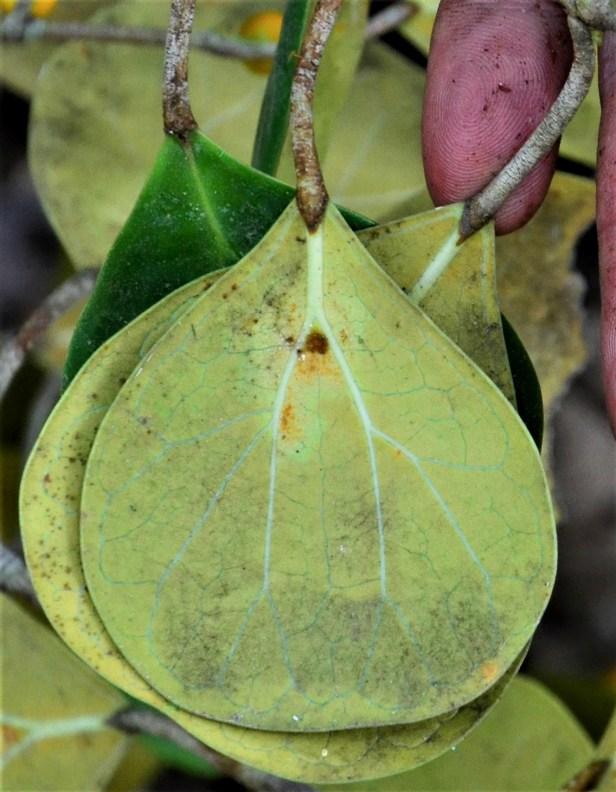 07 Ficus deltoidea Postar Miun Tongod, Kg. Semundoh●20190420★Shuai LIAO-LSL_1547.JPG