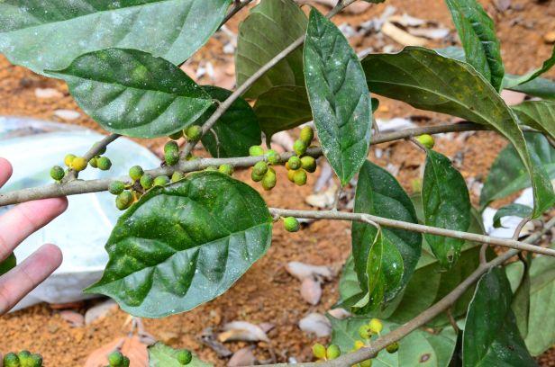 07 Ficus midotis, Tongod, Tangkulap FR●20190414★Shuai LIAO-LSL_1377.JPG