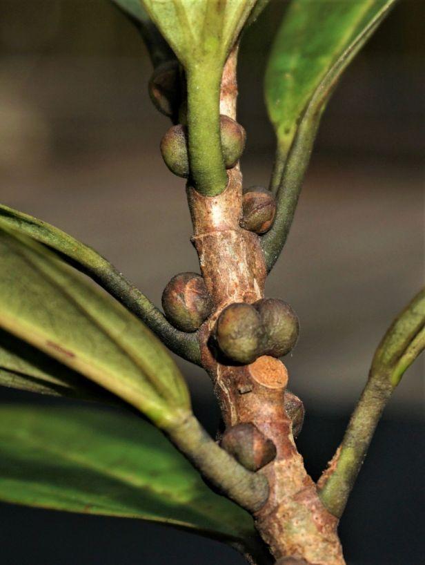 07 Ficus spathulifolia  Pontianak DSC03030 - Copy.JPG