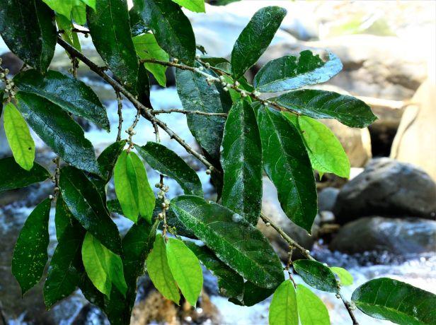 07 Ficus uniglandulosa Sg. Mokodou●20190356★ Shuai LIAO-LSL_0105.JPG