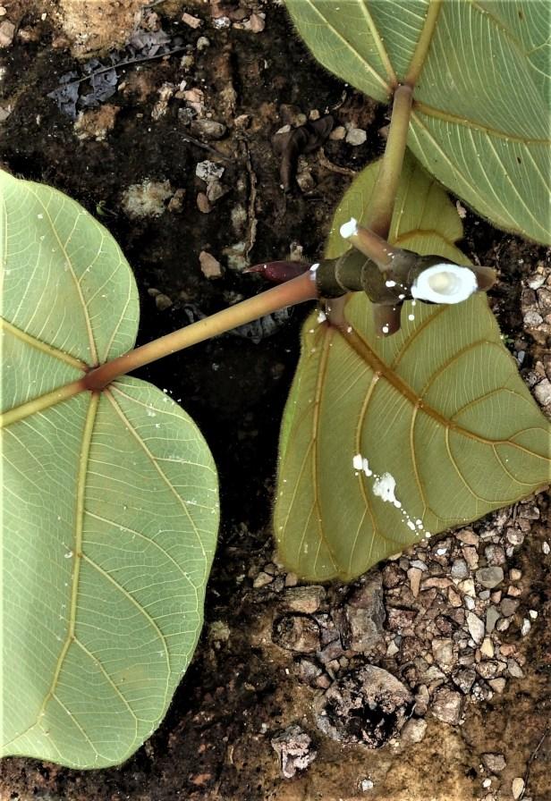 08 Ficus bruneiensis Sg Sut Elliot Gardner  EG822 a.JPG