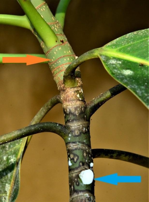 08 Ficus stupenda Kg. Sukau, ●20190478★ Shuai LIAO-LSL_3753 -