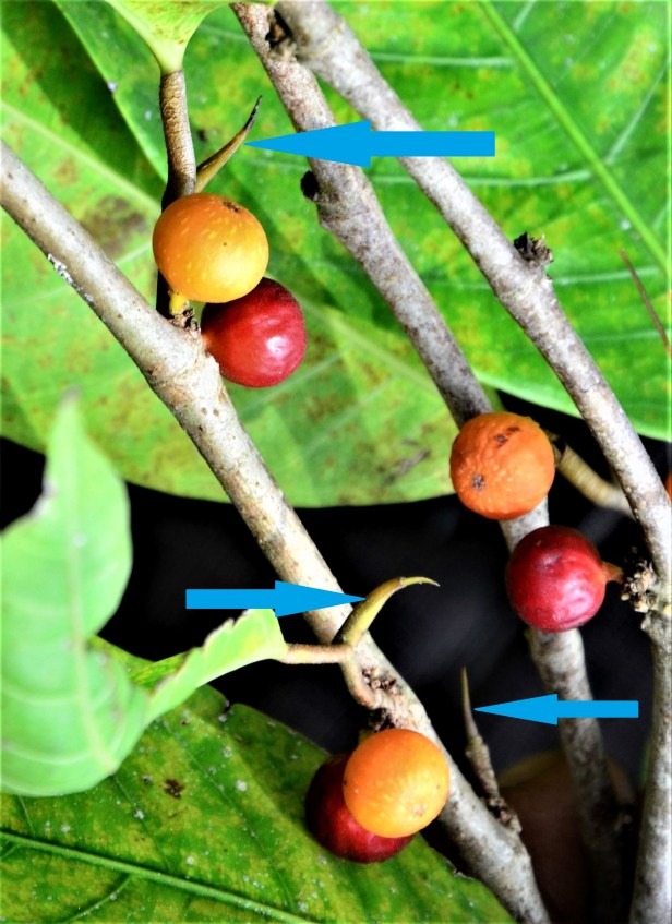08 Ficus subulata Tongod, Kg. Semundoh●20190422★ Shuai LIAO-LSL_1624