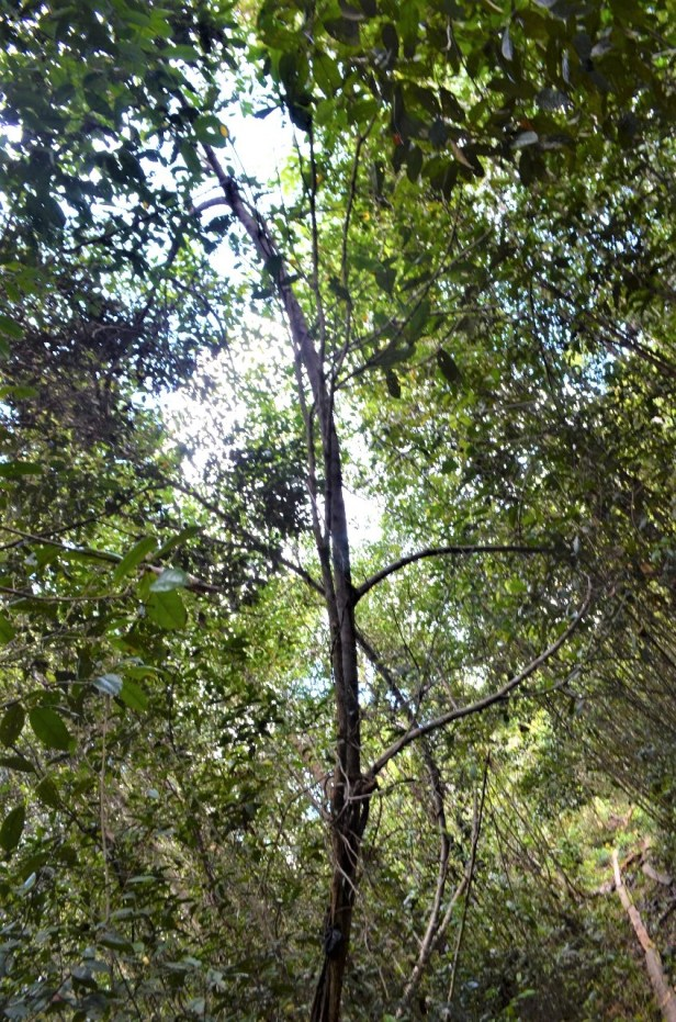 08 Ficus sundaica Pontianakcf034541-5f23-4358-b723-ea4d009b3299.jpg