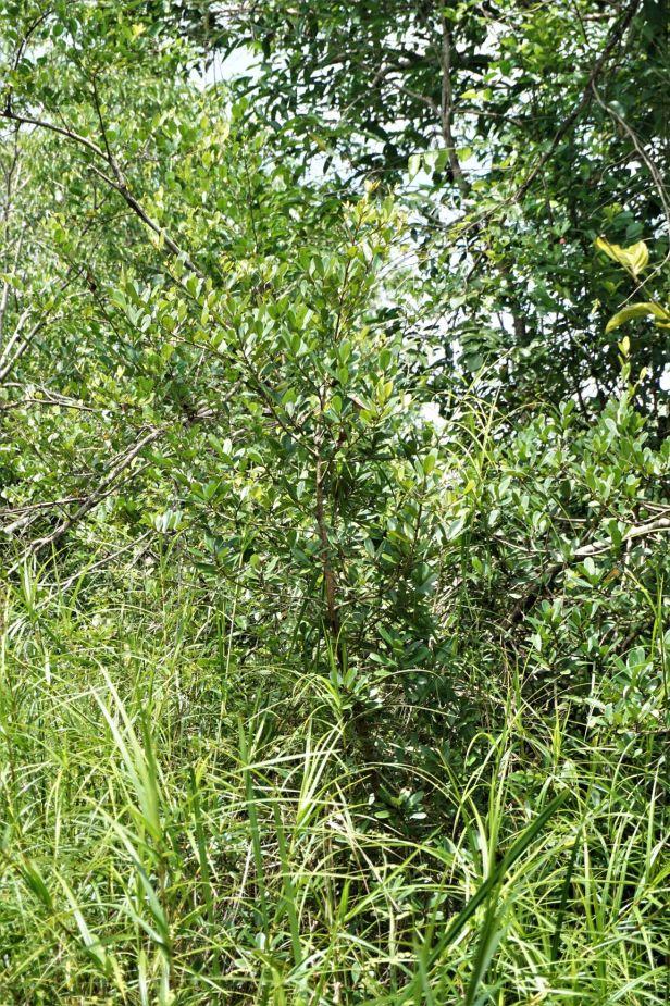09 Ficus spathulifolia  Pontianak DSC03030 - Copy.JPG