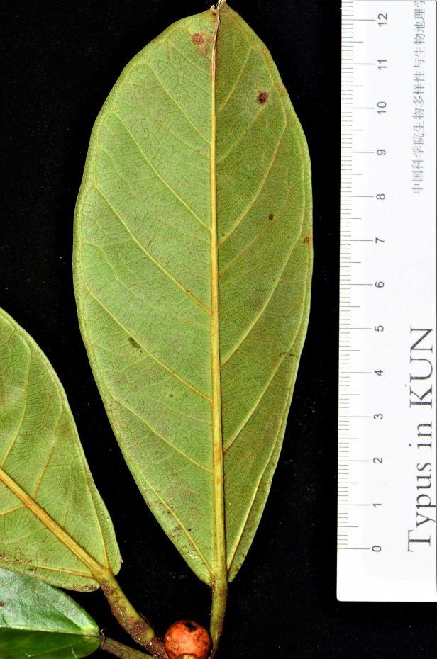 10  Ficus consociata, Beluran, Ulu Sapa Payau FR, ●20190434★ Shuai LIAO-LSL_2054.JPG