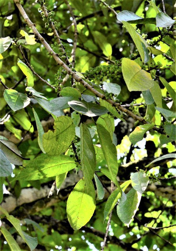 10 Ficus gul Kg. Nalumad●20190353★ Shuai LIAO-LSL_0640