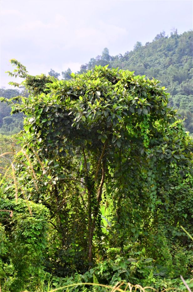 11 Ficus fulva, Kg. Togis●20190364★ Shuai LIAO-LSL_9102.JPG